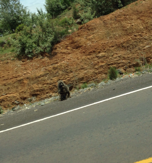 One of the many baboons that can be seen along the roadway.