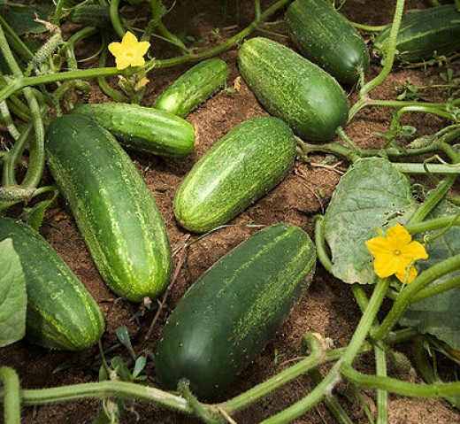 Here we have cucumber vines running on the ground and growing delicious cucumbers.