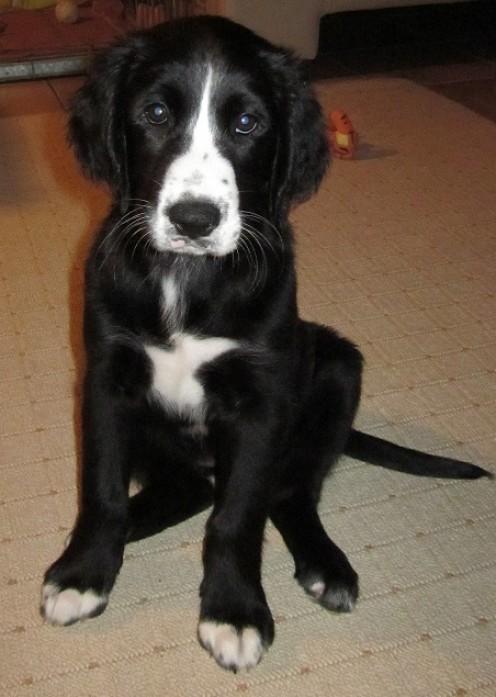 Manifestation of the St Johns Water Dog in Labrador Puppy (black labrador mom and blond labrador dad) 11 weeks old female 'labrador' puppy.