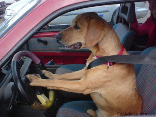 Tell us a story - how come this dog got to drive the car?