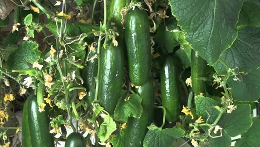 Here is a great crop of cucumbers growing and ready for harvest.
