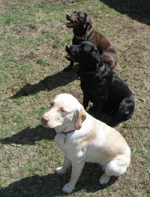Molly, Zoey, and Chance - all three Labrador colours. (
