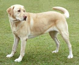 A yellow Labrador retriever dog with pink nose.