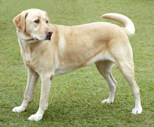 A yellow Labrador retriever dog with pink nose.