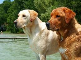 """Yellow and """"fox red"""" Labrador Retriever."""