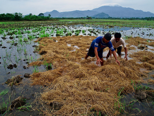 Filipino rice farmers in Laguna province incorporate rice straw back into the field as organic material.