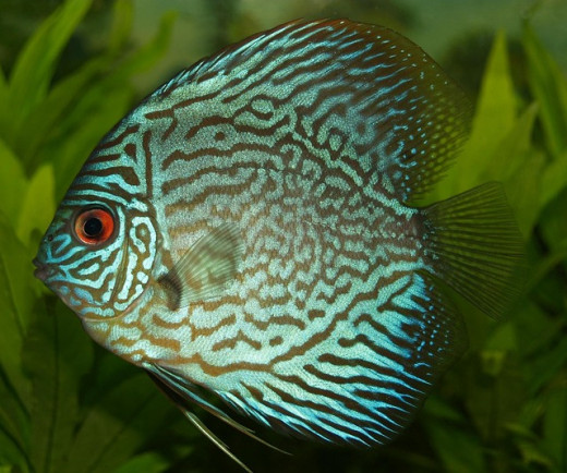 Discus are extremely sensitive to water conditions and will be the first fish to show signs of ammonia poisoning.