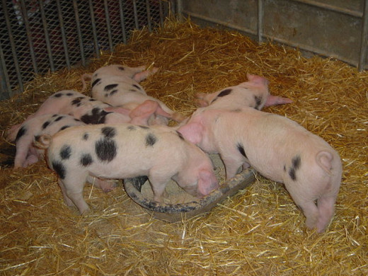 I think these spotted piglets are so very cute. Don't you?