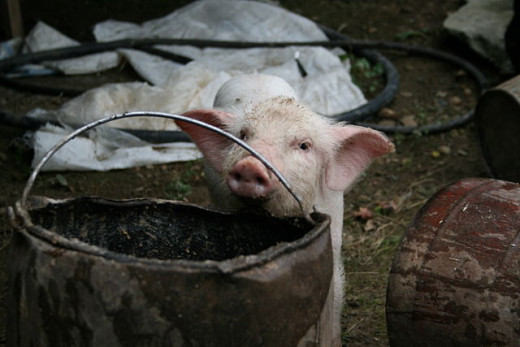 Check out this little pig inspecting the bucket to see if there is a tasty treat waiting for him there.