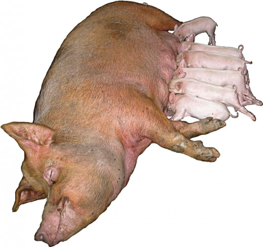 Check out the cute little piglets sucking the sow in this photo.