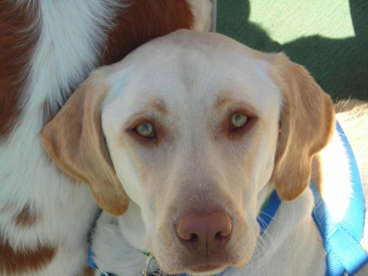 "Labrador type ""Dudley"""