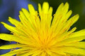Free Food: Dandelion Recipes