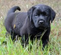 A Peek Behind The Purple and Gold Curtain of Breeding and Showing AKC Labrador Retrievers