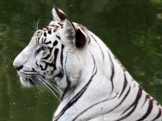 White tigers included!