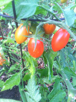 Plum Tomatoes are sweet, and perfect for salads or making sauce.