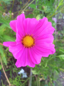 Cosmos add a touch of beauty to your garden and the make excellent cut flowers for your home.