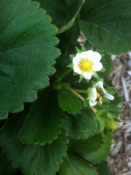 Strawberries are easy to grow and the can provide a richness to live. Pick your own breakfast, snack or dessert.