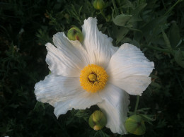 Poppies are magnificent flowers that add grace and beauty to your garden.