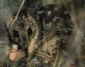 Endangered Species Australia – Saving Northern Quolls