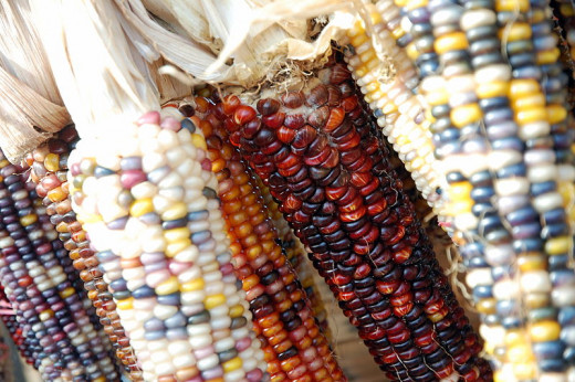 Indian, or ornamental, corn