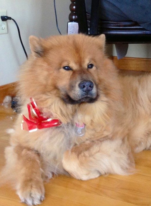 This is Gimli, a red Eurasier. An essential companion when writing, he stops me from getting lonely and he keeps my feet warm.