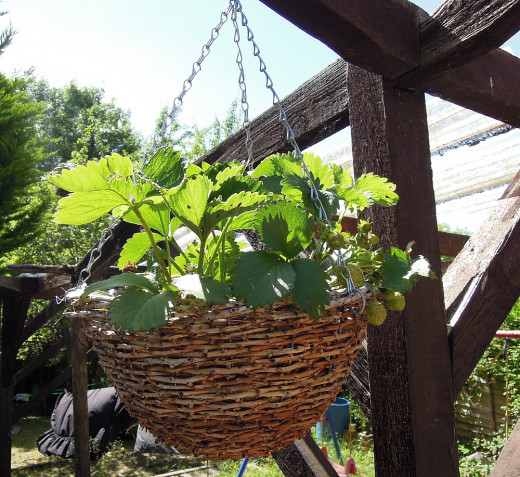 Hanging baskets can be successfully used to grown a range of crops, including strawberries without needing any ground space at all.