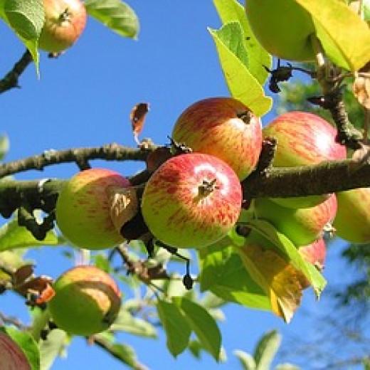 Apples by keywest3