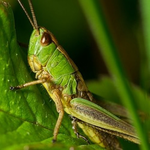 destructive grasshopper
