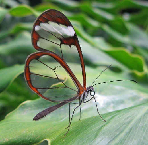 Glasswing Butterfly - Notice the transparent wings !