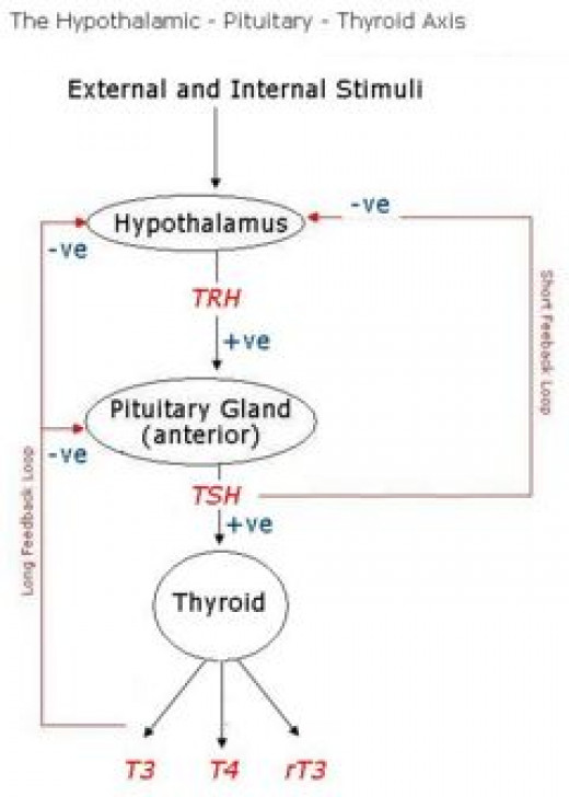 Normal regulation of thyroid hormone secretion