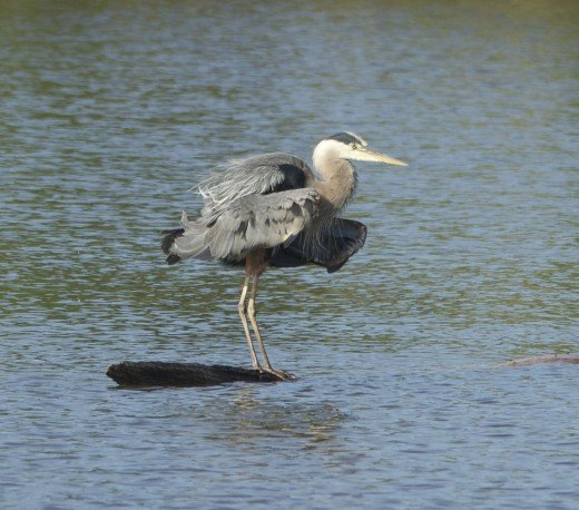 Great Blue Heron Takes a Defensive Posture