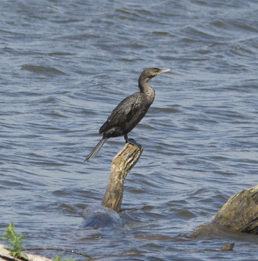 First Year Double-crested Cormorant