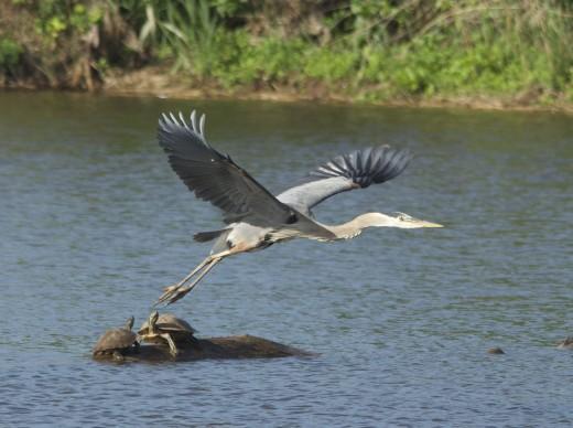Great Blue Heron Cruising Over Turtles