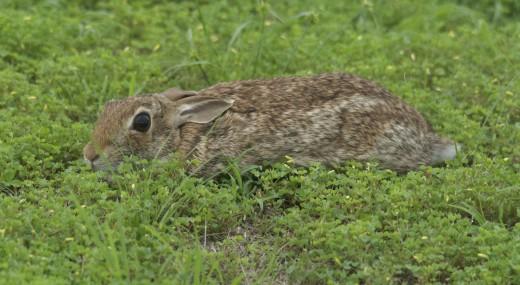 Stealth Rabbit