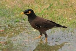 Common Myna Bird - one of the mostb ubiquitous of all Thai birds