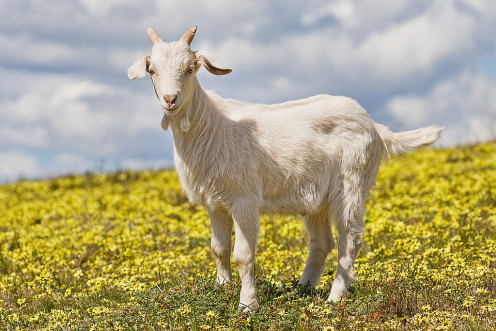 A young goat in a field
