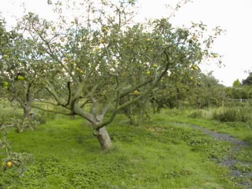 An apple tree in the orchard