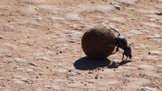 Dung-Beetle-one of the small five.