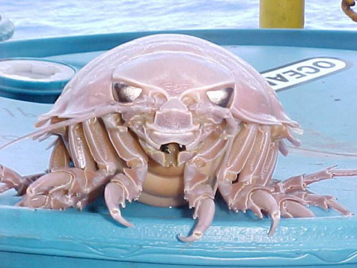 Giant Isopod - Frontal View