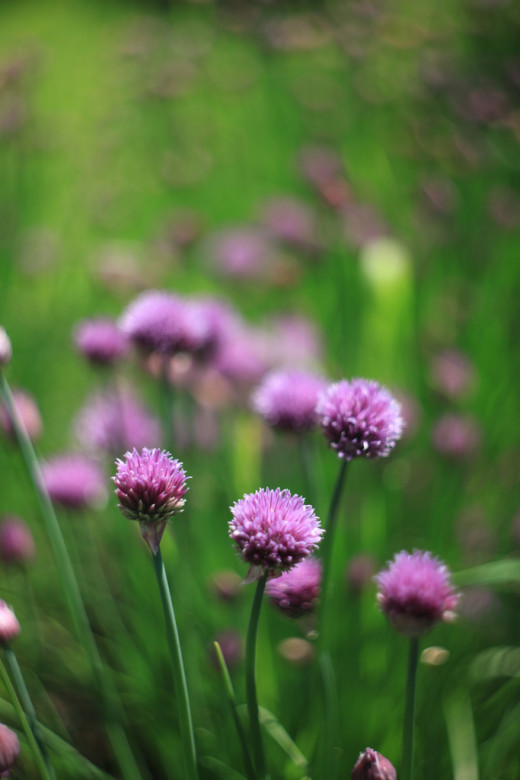 Chives in bloom.