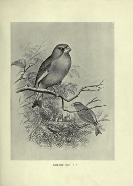 Butler {British Birds with their Nest and Eggs} 1896