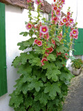 Cottage Garden Favorites: Hollyhocks