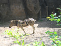 Do Zebras have Black or White Stripes?