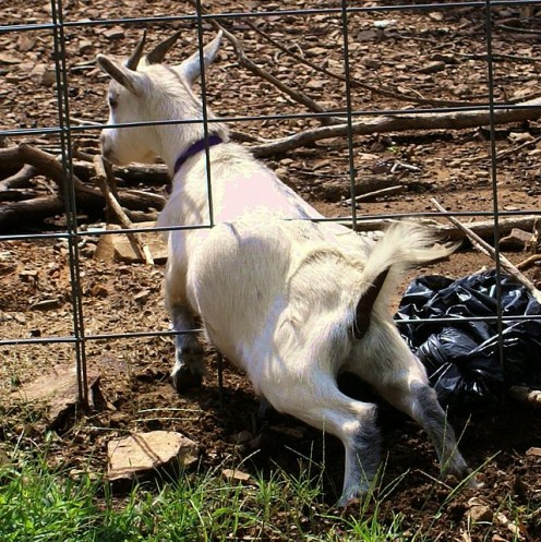 Goats try to go where they are not supposed to...
