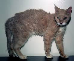 Typical appearance of a cat suffering from an overactive thyroid.