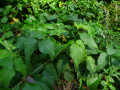 Poison Ivy and Poison Oak, Cheap Home Remedy