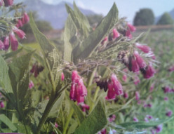 Healing With Trauma Comfrey
