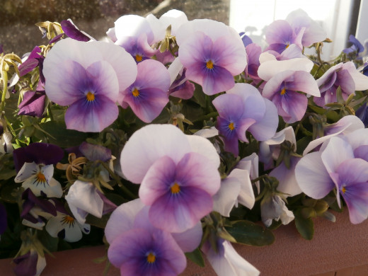 Growing pansies from seed is not difficult.