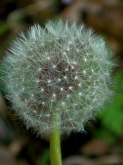 "Dandelion ""Blowball"""