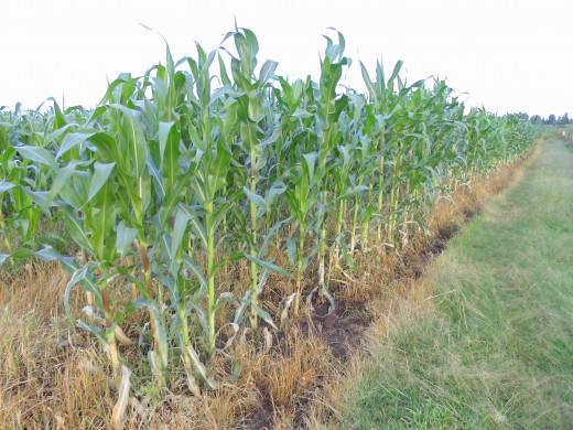 Maize weeded using chemicals that selectively kill the grass